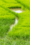 A rice seedlings Stock Photos
