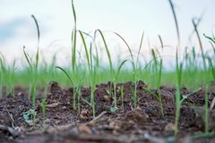 Rice seedlings, the concept of farmer planting rice.. royalty free stock image