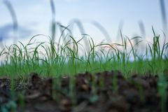 Rice seedlings, the concept of farmer planting rice stock photos