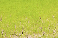 Rice seedlings in a cracked. Dried out paddy field Royalty Free Stock Photography