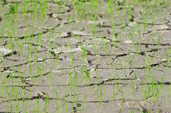 Rice seedlings in a cracked, dried out paddy field Royalty Free Stock Images