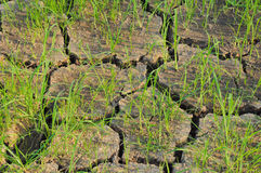 Rice seedlings in a cracked01. Rice seedlings in a cracked, dried out paddy field Stock Photo