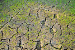 Rice seedlings in a cracked03. Rice seedlings in a cracked, dried out paddy field Royalty Free Stock Images