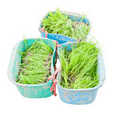 Rice seedlings Royalty Free Stock Images