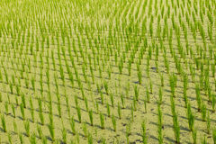 Rice seedlings duckweed Stock Photos