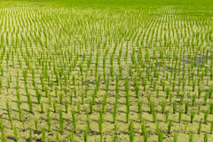 Rice seedlings duckweed Stock Image