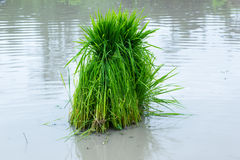 The Rice seedlings Stock Photo