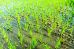 Rice seedlings. In the field Stock Image