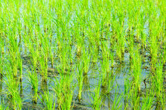 Rice seedlings. In the field Royalty Free Stock Photos