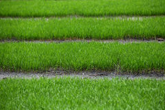 Rice seedlings Royalty Free Stock Photos