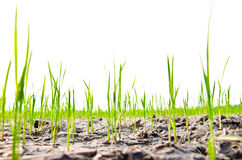 Rice seedlings germinated on the ground to dry in the summer Royalty Free Stock Images