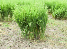Rice seedlings Stock Photos
