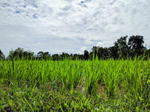 Rice seedlings Stock Photography