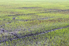 Rice seedlings on the ground cracked. Royalty Free Stock Photography