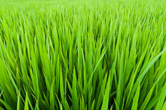 Rice seedlings Stock Image