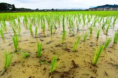 Rice seedlings grow in water field on beginning of season Royalty Free Stock Image