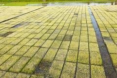 Rice seedlings. Rice seedlings infarm outdoor Royalty Free Stock Images