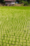 Rice seedlings Royalty Free Stock Image