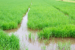Rice seedlings in paddy rice Stock Photos