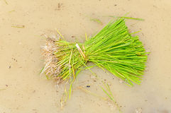 A rice seedlings Stock Photography