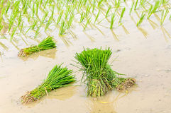 A rice seedlings Royalty Free Stock Photography