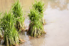 Rice seedlings for planting. Plant economy of Thailand Royalty Free Stock Photo