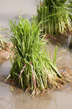 Rice seedlings for planting. Plant economy of Thailand Royalty Free Stock Image