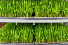 Rice seedlings on a rack Royalty Free Stock Photos