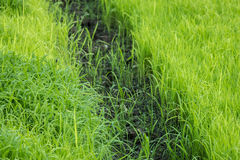 Rice seedlings Stock Photography