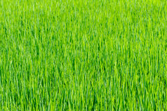 Rice seedlings in Rice fields Royalty Free Stock Photography