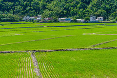 Rice seedlings in Rice fields Stock Image