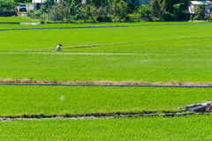 Rice seedlings in Rice fields Stock Photo