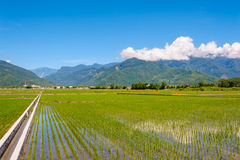 Rice seedlings in Rice fields Stock Photos