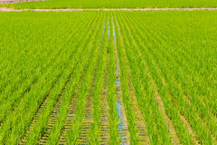 Rice seedlings in Rice fields Royalty Free Stock Photos