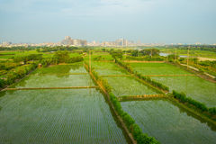 Rice seedlings in Rice fields Stock Images