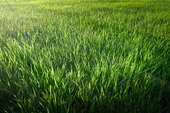 Rice seedlings in the Rice fields. Rice fields royalty free stock photography