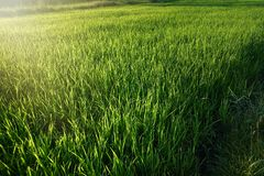 Rice seedlings in the Rice fields. Rice fields stock images