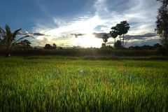Rice seedlings in the Rice fields. Rice fields royalty free stock images