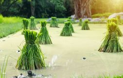 Rice Seedlings on the rice fields. Waiting to be planted Stock Photos