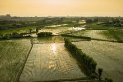 Rice seedlings in the Rice fields Stock Photo