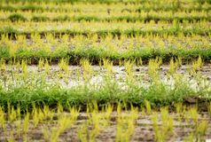 Rice seedlings, Rice Sprouts. In paddy stock images
