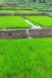 Rice seedlings in Thai Royalty Free Stock Image