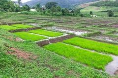 Rice seedlings in Thai Stock Photos