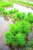 Rice seedlings. Seedlings of rice in Thailand Royalty Free Stock Photos