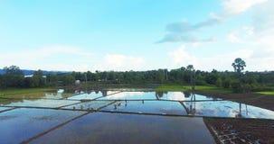 Rice seedlings transplantation stock footage