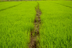 The rice seedlings vegetate in water. The rice seedlings vegetate in water in thailand Royalty Free Stock Images