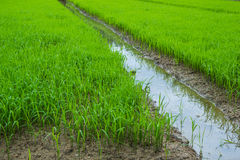 The rice seedlings vegetate in water. Stock Photo