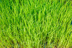 Rice seedlings were grown to a spike. Royalty Free Stock Photo