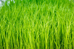 Rice seedlings were grown to a spike. Stock Photo