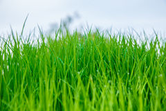 Rice seedlings were grown to a spike. Rice seedlings were grown to a spike background Stock Photos